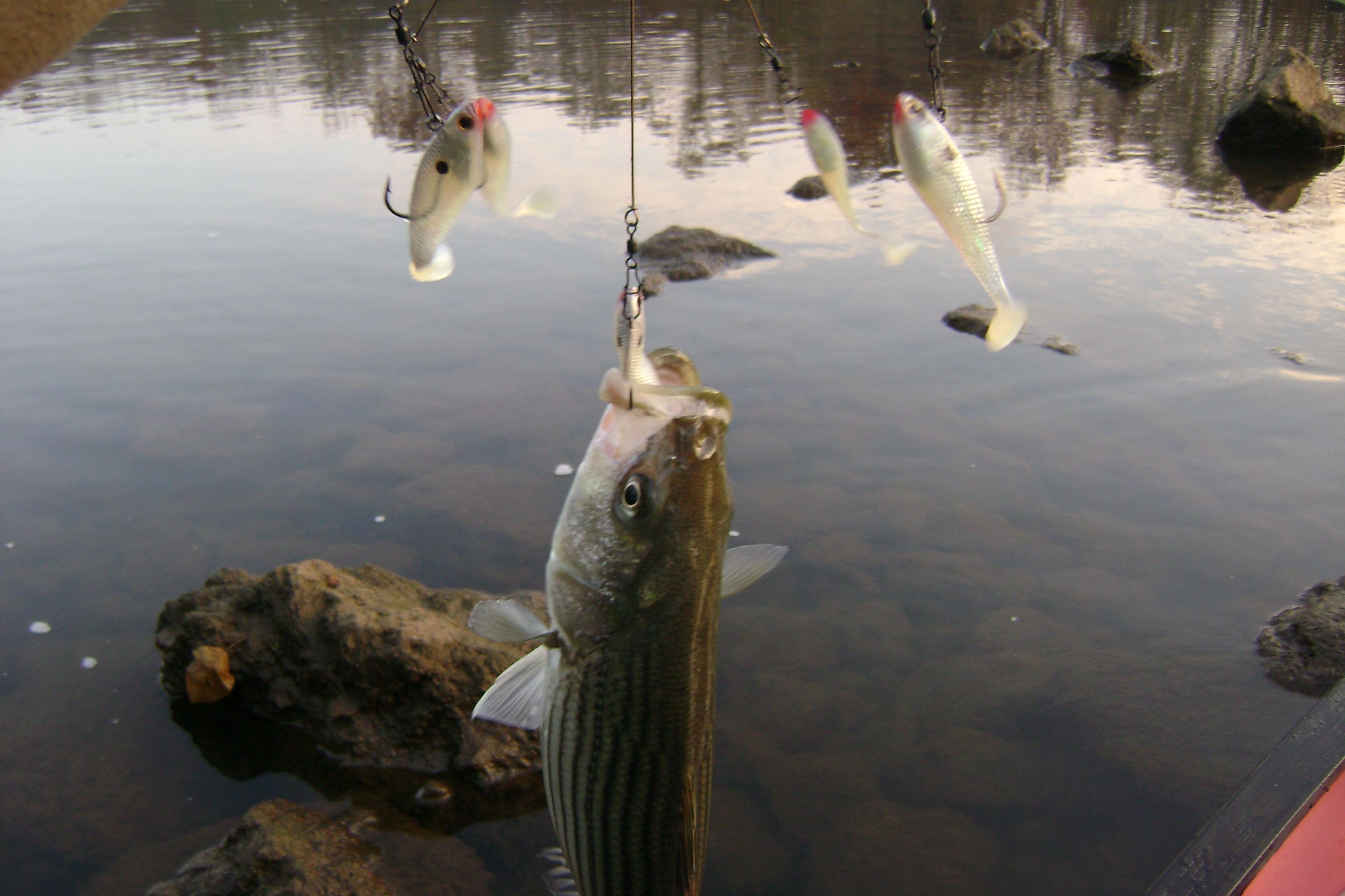 The alabama rig with storm swim shad catches stripers for Alabama rig fishing