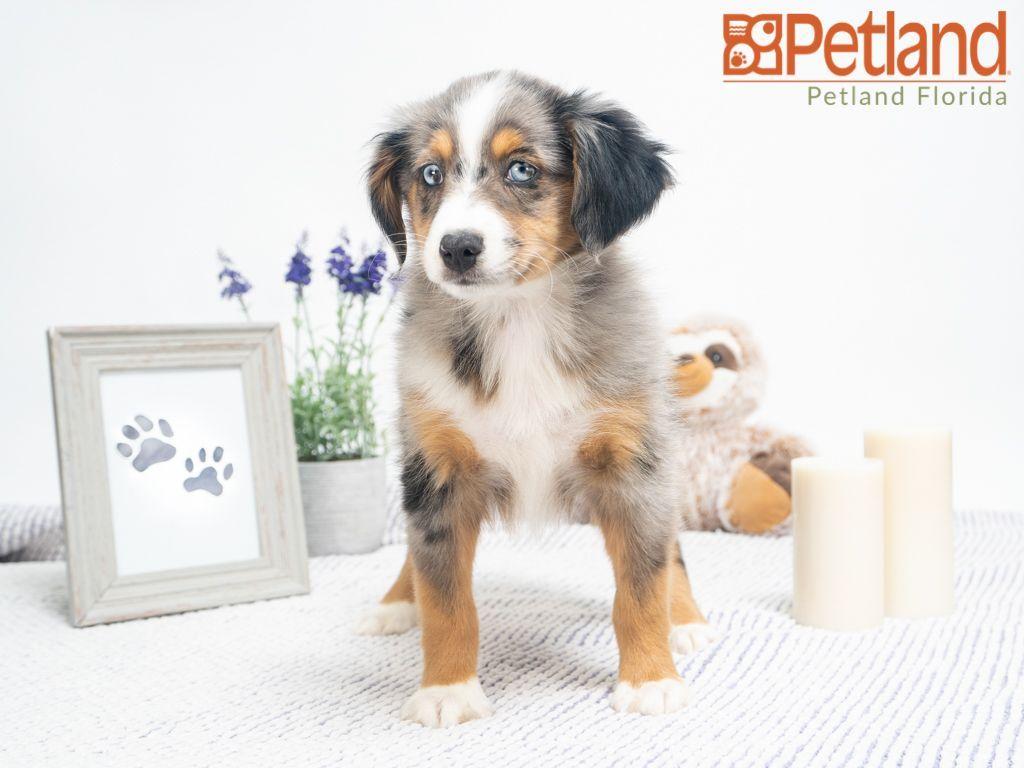 Petland Florida has Miniature Australian Shepherd puppies