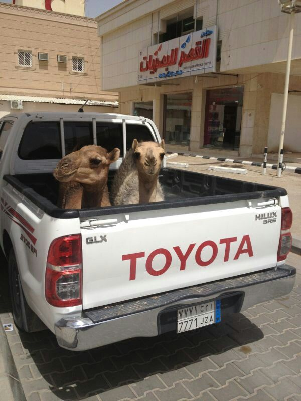 Cool camels behaving better than my children