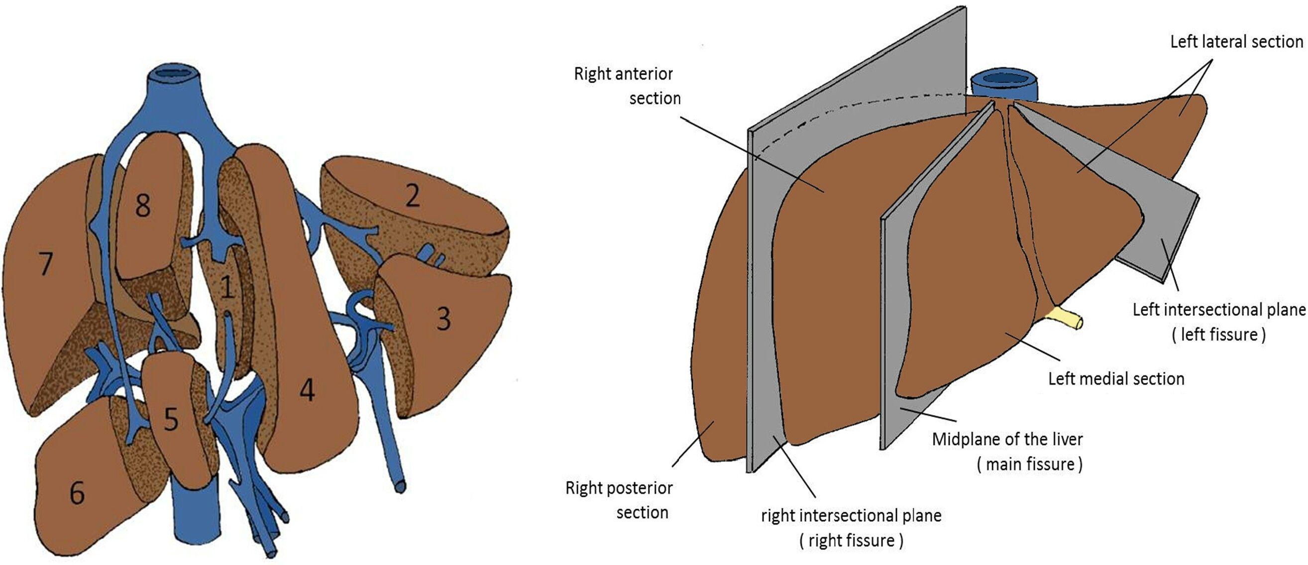 Liver segments | Anatomy | Pinterest