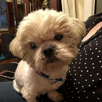 Dallas, TX Shih Tzu. Meet Falcor a Dog for Adoption.