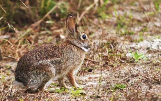 Hunting The Modern Cottontail Rabbit Rabbit Rabbit Hunting