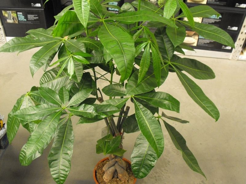 care for pachira money tree indoor treesplant