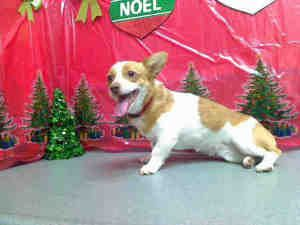A404814 Penny Urgent Moreno Valley Animal Shelter Is An Adoptable Welsh Corgi Dog In Moreno Valley Ca If You Are In The North Corgi Dog Corgi Welsh Corgi