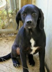 Black Lab Beagle Mix Size Beagle Puppy Beagle Mix Beagle Dog