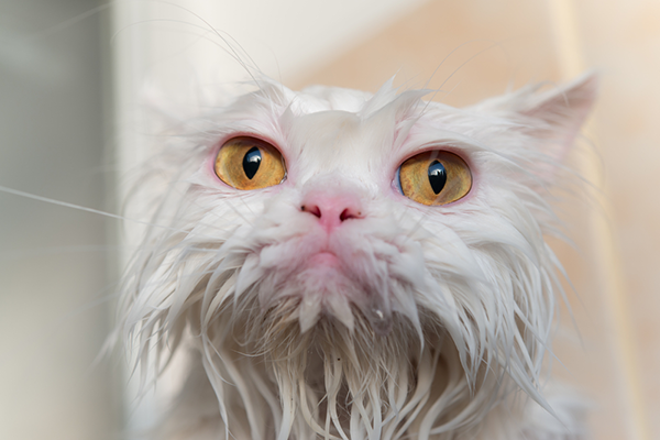 Do You Need To Bathe Your Cat Here S How To Do It Right Cat Bath Cats Pet News
