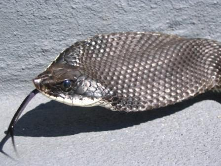 Snake Photos Snake Photos Hognose Snake Melanistic