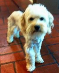 Adopt Gabi On Dogs Maltese Dogs Maltese Shih Tzu