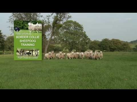 First Steps In Border Collie Sheepdog Training Teach A