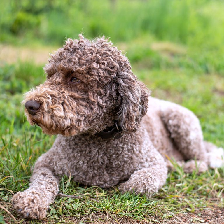 14 Curly Haired Dogs That Ll Have The Same Do As You In 2020 Curly Dogs Long Haired Dog Breeds Water Dog Breeds