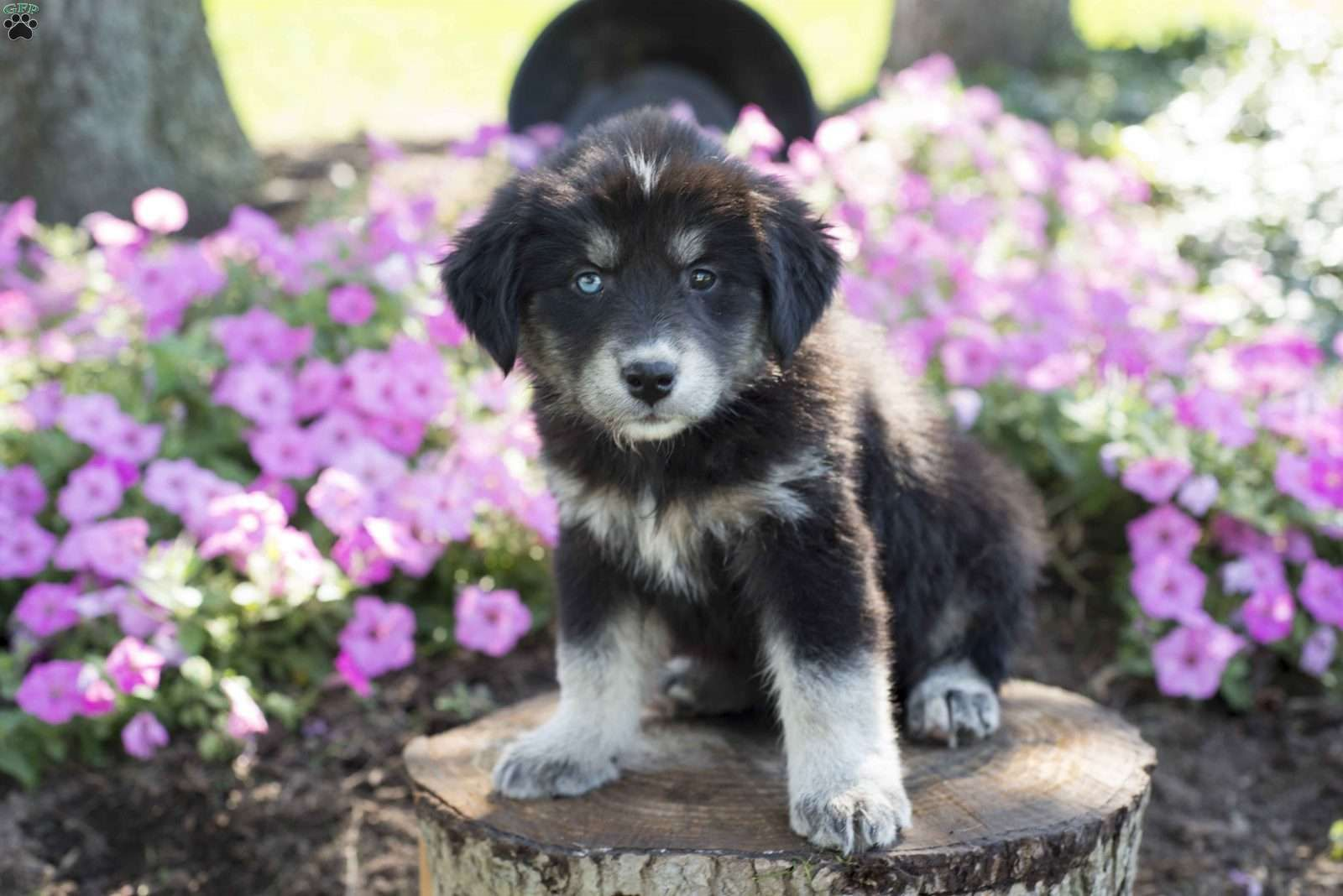 Teresa Bernese Mountain Dog Mix Puppy For Sale in