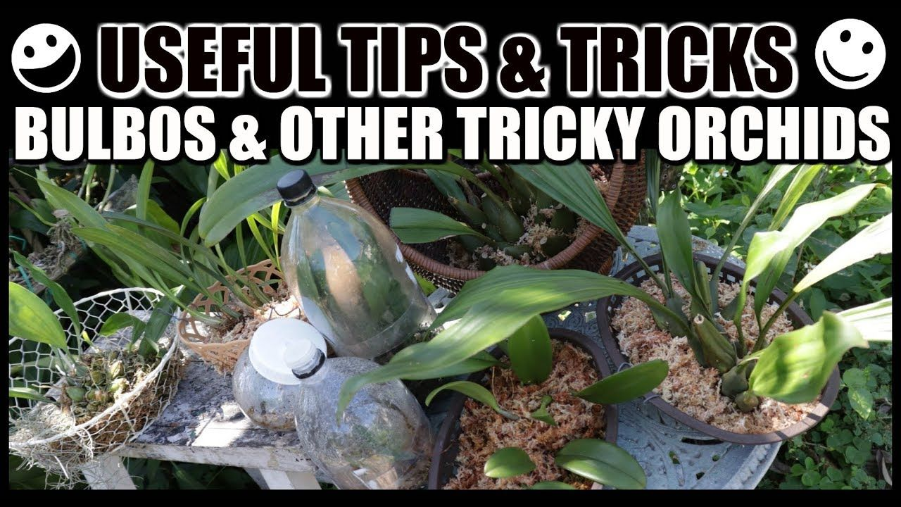 Tips For Growing Bulbophyllums Tricky Orchids Grow Rescue