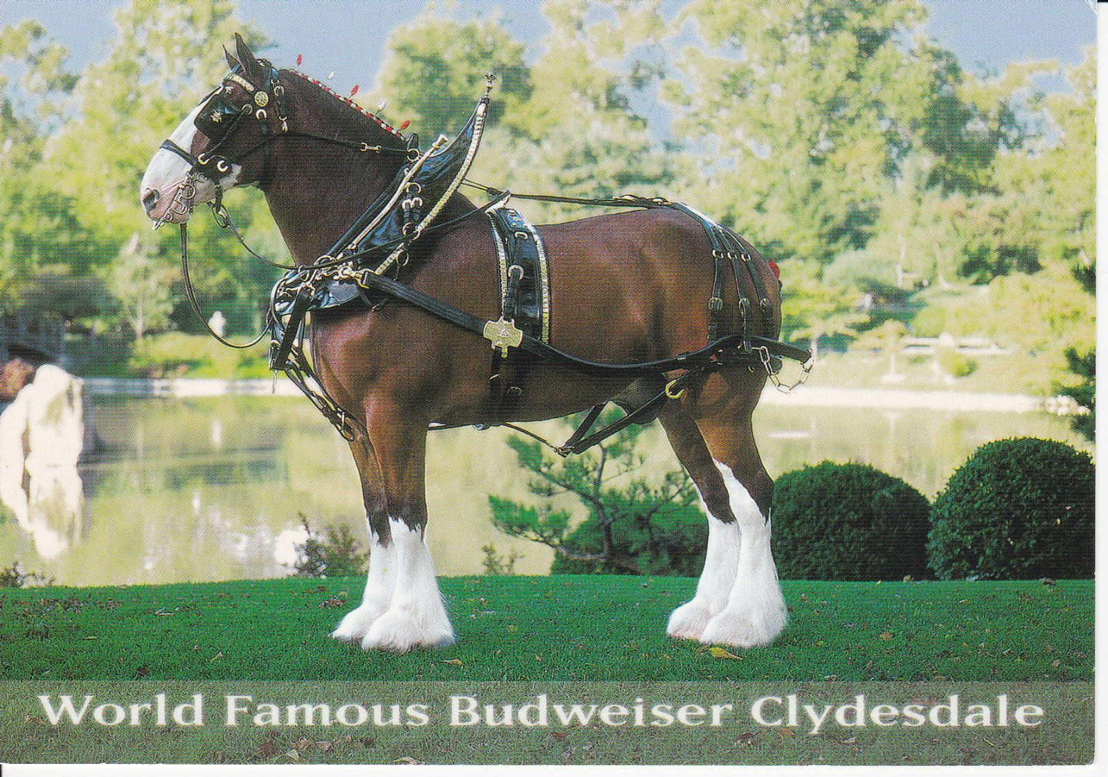 BUDWEISER BREWERY CLYDESDALE DRAFT HORSE POSTCARD HANDSOME FELLOW HARNESS POND picclick.com