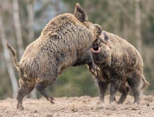 Wildschweine By Jurgen Luger On 500px Wild Boar Hunting Boar Hunting Hog Hunting