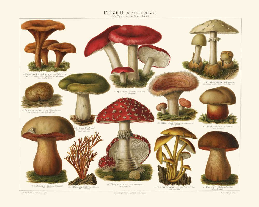 mushroom vintage print 11  poisonous mushrooms  stuffed