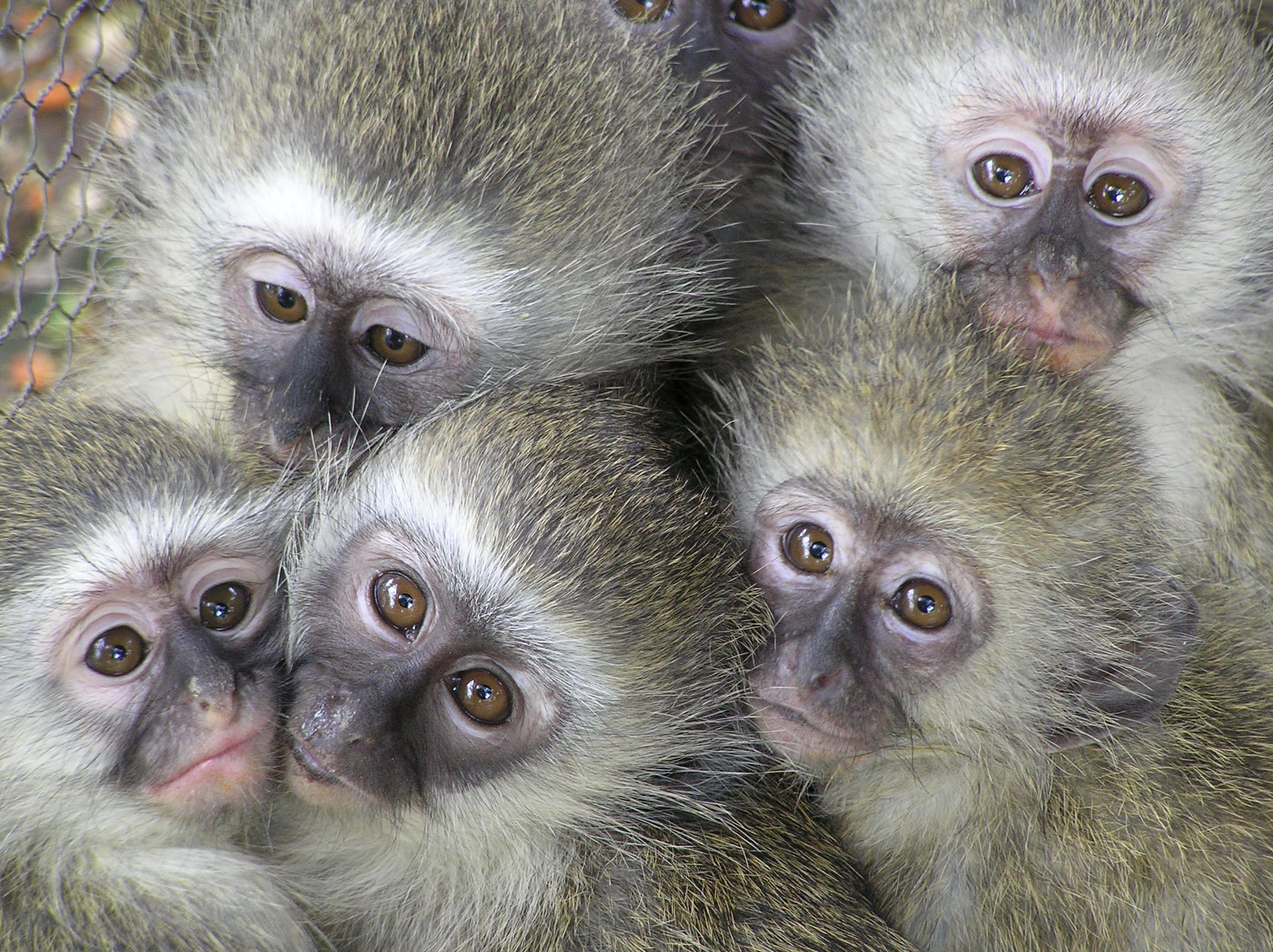 Cute Baby Vervet Monkeys Vervet Monkey Cute Animal Videos