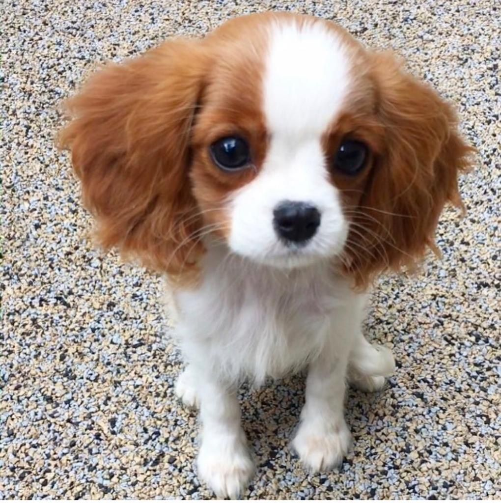 Pin on King Charles Puppies for Sale Near Me
