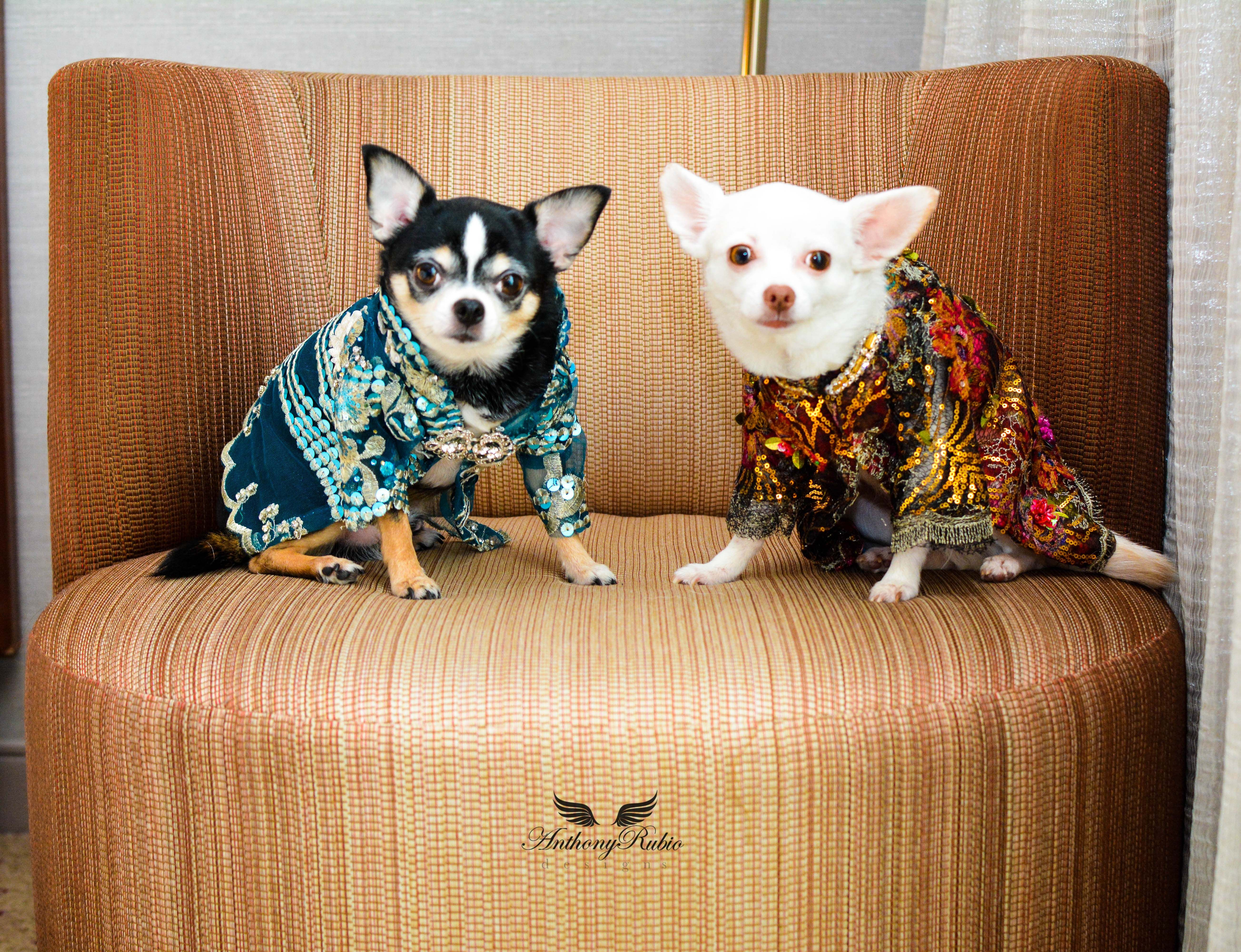 Chihuahua Duo Bogie And Kimba Are Styling In Canine Couture By