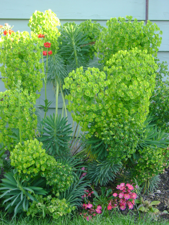 Dog Pee Resistant Euphorbia Dog Friendly Garden Plants Backyard Plants