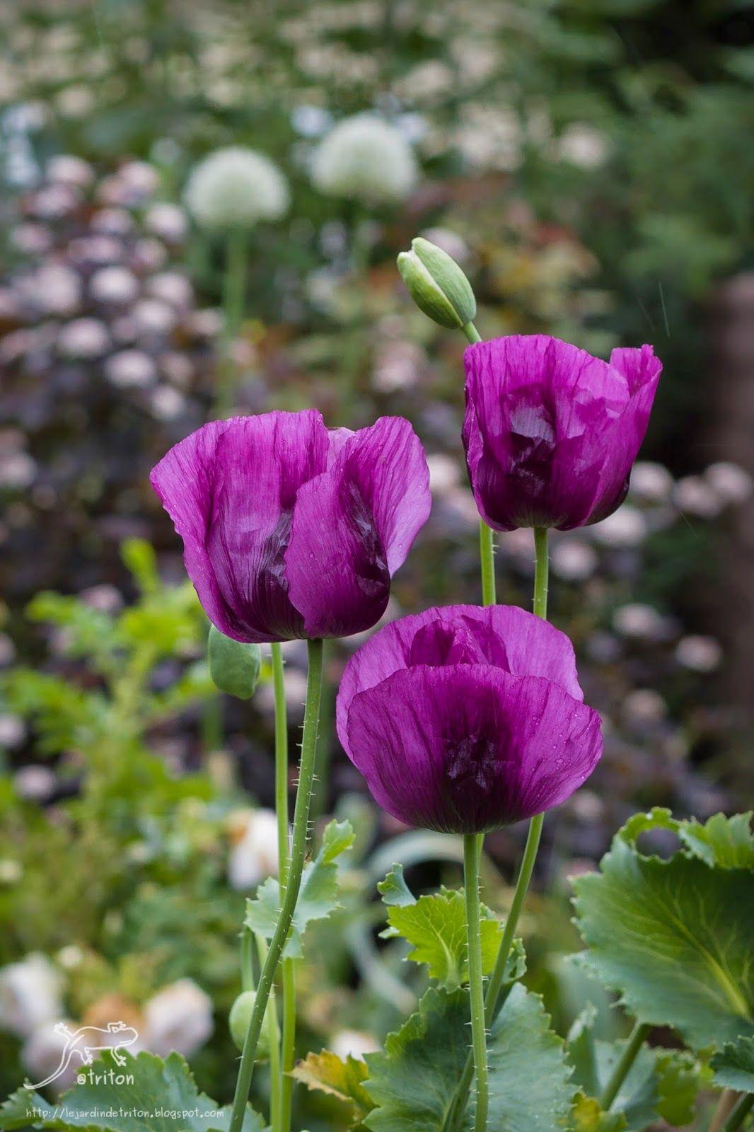 Opium Poppy Black Peony Papaver Somniferum Pipacs Pinterest