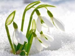 Bildergebnis Fur Fruhlingsblumen Im Schnee スノードロップ