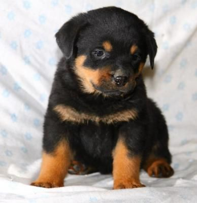 Pin By Garen On Poochie Pie 2 With Images Rottweiler Love