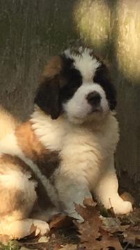 Saint Bernard Puppy For Sale In Derry Nh Adn 29641 On Puppyfinder Com Gender Male Age 7 Weeks Old St Bernard Puppy Saint Bernard St Bernard Dogs