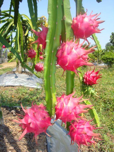 Resultado de imagen de pitahaya planta