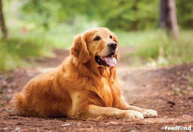 Tips To Train Your Dog Dogtrainingomaha Dogs Golden Retriever