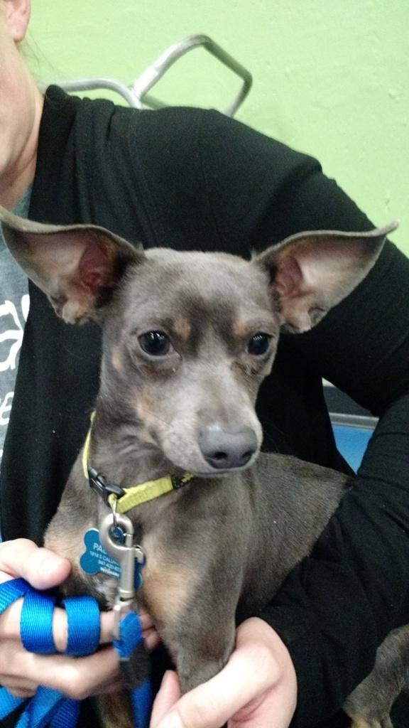 Adopt Henri On Dachshund Mix Chihuahua Chihuahua Dogs