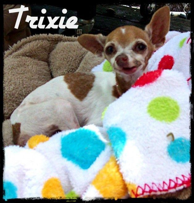 Trixie Rip Sweetest Cute Chihuahua Doggy Fur Babies