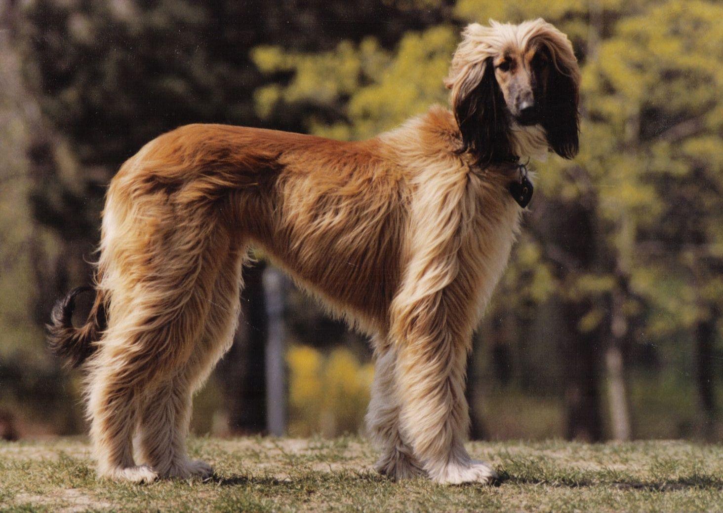 Afghan Hound With Short Hair Afghanischer Hund Jagdhund Hunde