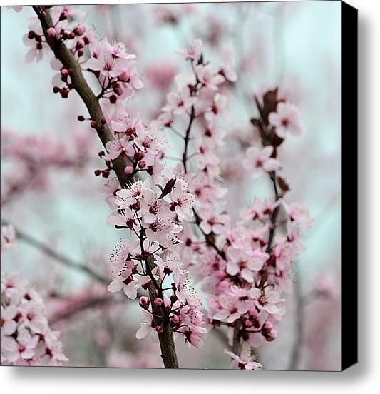 Pretty Pink Flowering Tree Stretched Canvas Print / Canvas Art By Patricia S