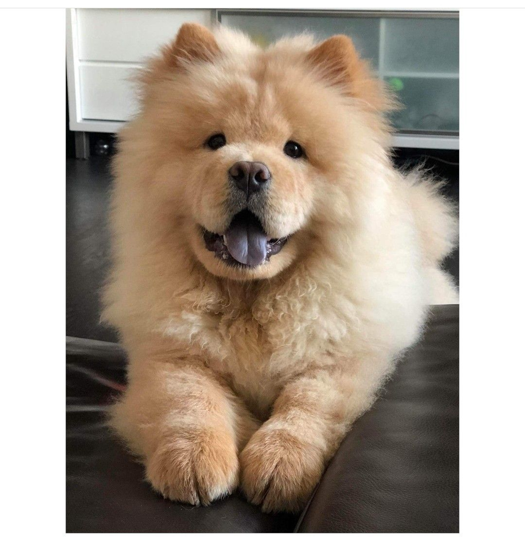 Chowchow Chow Chow Puppy