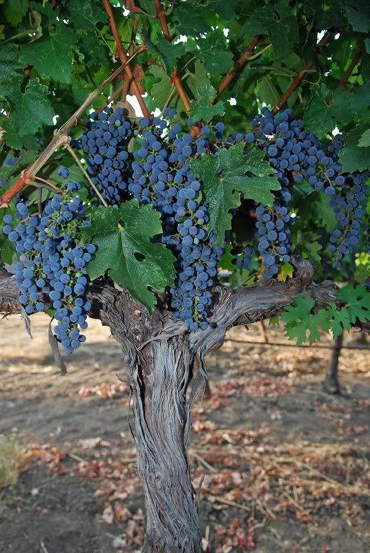 Grapes of Chandon