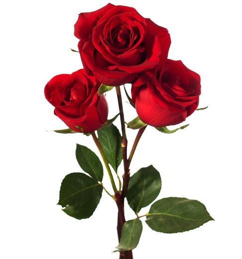 Una Rosa Roja En Papel Vinilo Decorativo Rosa Roja 22 Tenvinilo Rosa Roja Dark Red Roses Red Roses Red Rose Flower