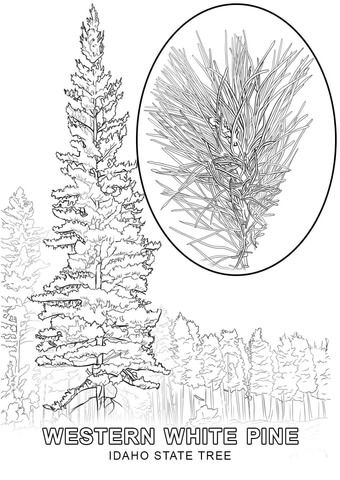 Idaho State Tree Coloring Page From Idaho Category Select From