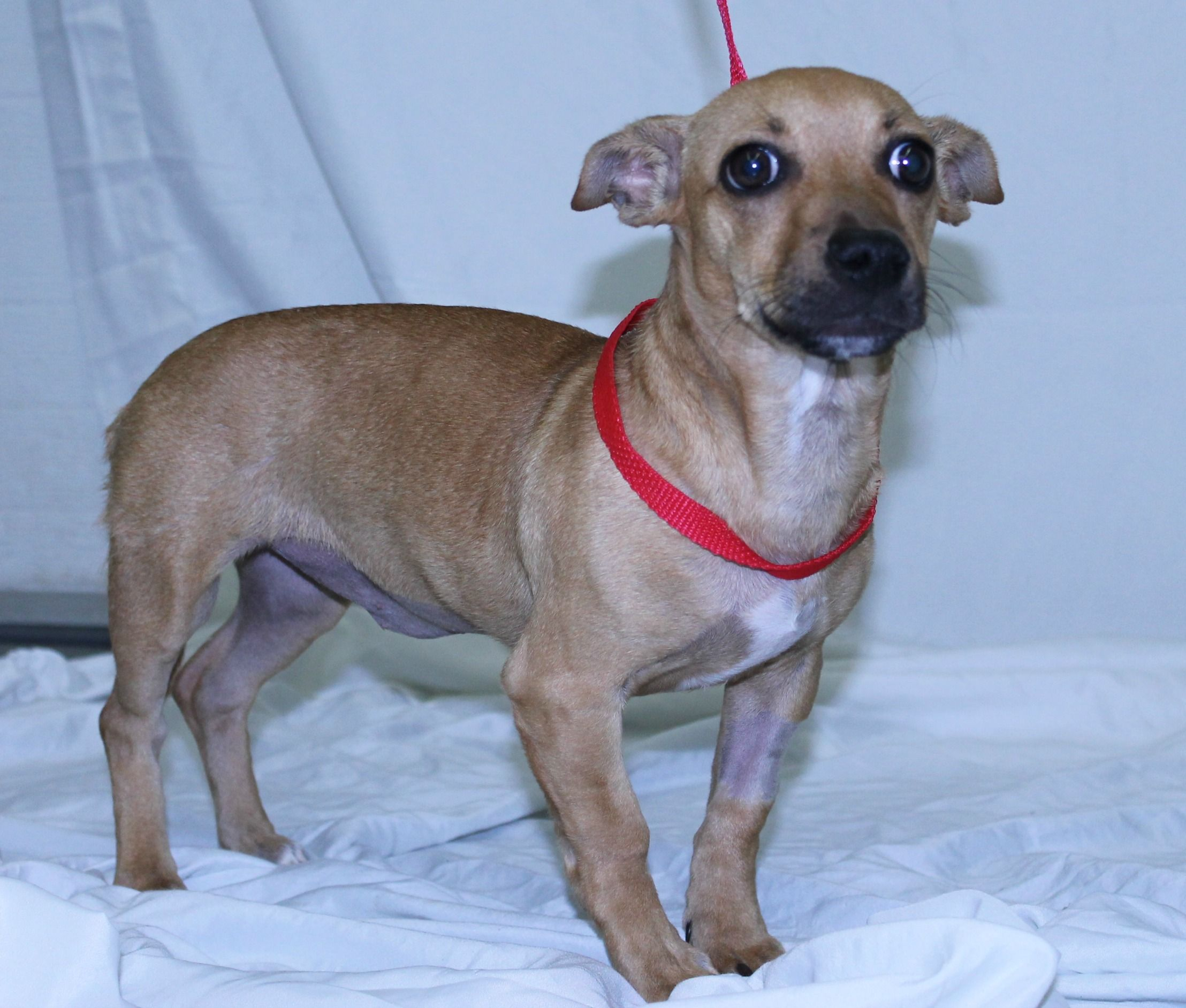 Chiweenie dog for Adoption in Princeton, MN. ADN737700 on