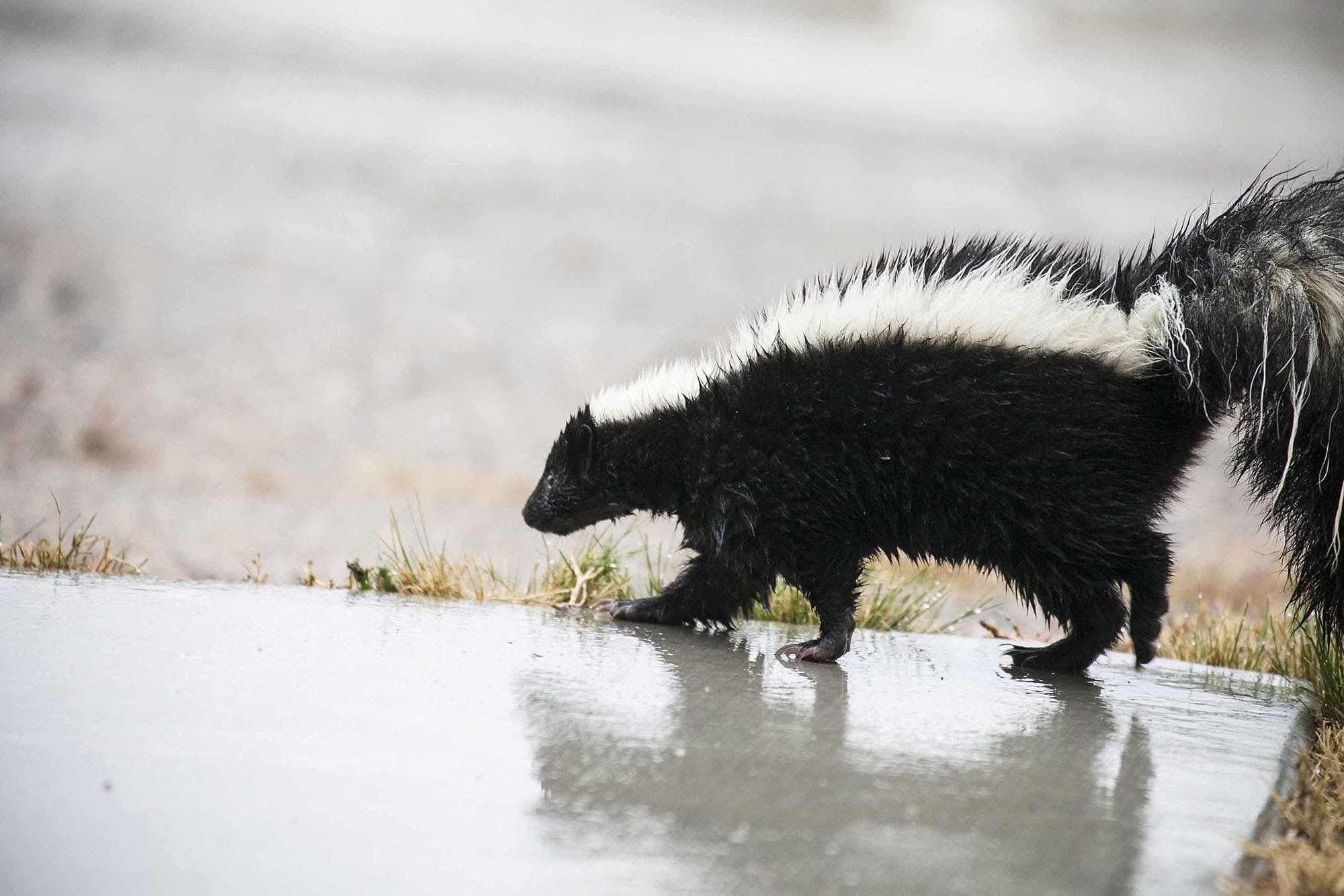 source food Striped for skunk winter
