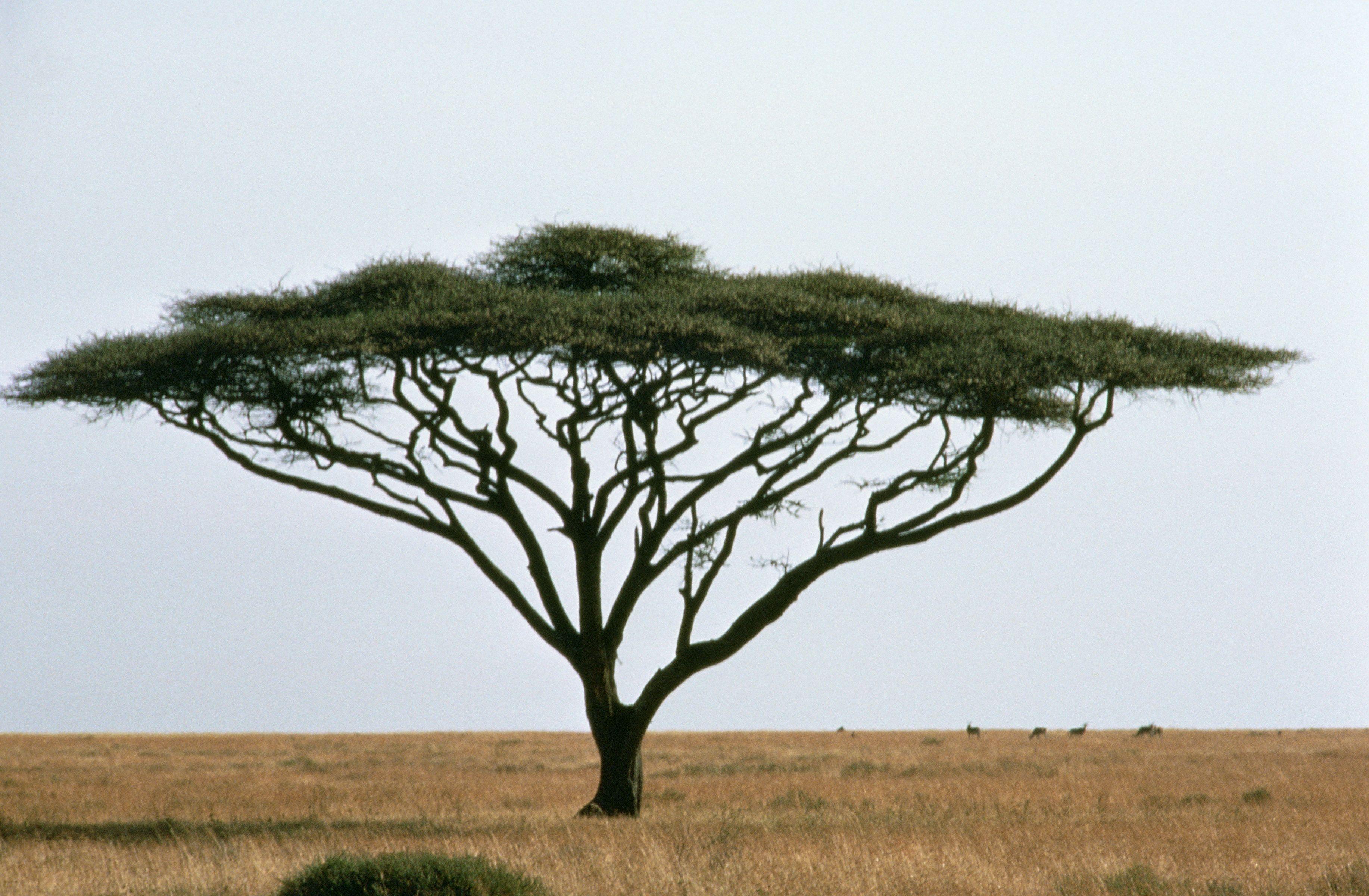 Acacia Tree African Tree Tree Acacia Tree