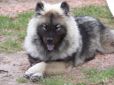 Eurasier my dream dog