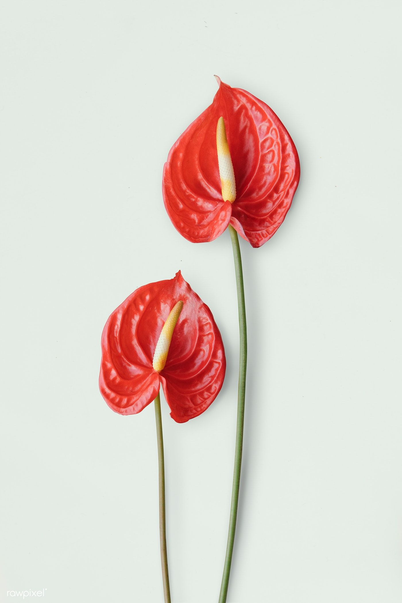 Download Premium Psd Of Red Anthurium On A Light Gray Background 1210107 Anthurium Anthurium Flower Watercolor Pattern Background