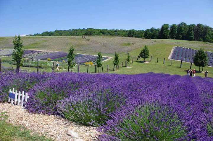 Love for nature and design lavender fields lavender