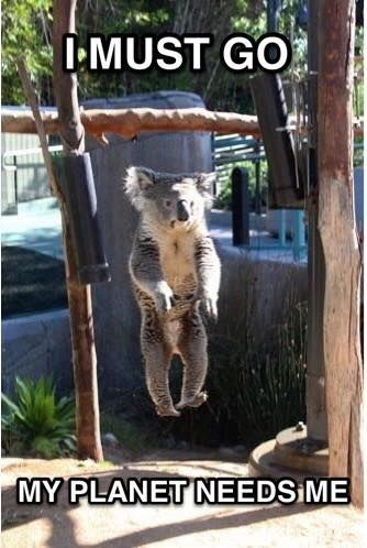 And What About The Koala Clearly Not From Planet Earth Funny Koala Cute Animal Memes Koala