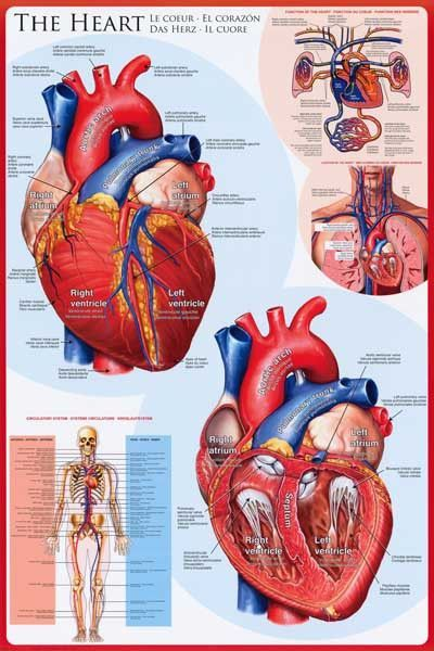 Anatomy of the Heart Cardiology Education Poster 24x36 | Anatomía ...