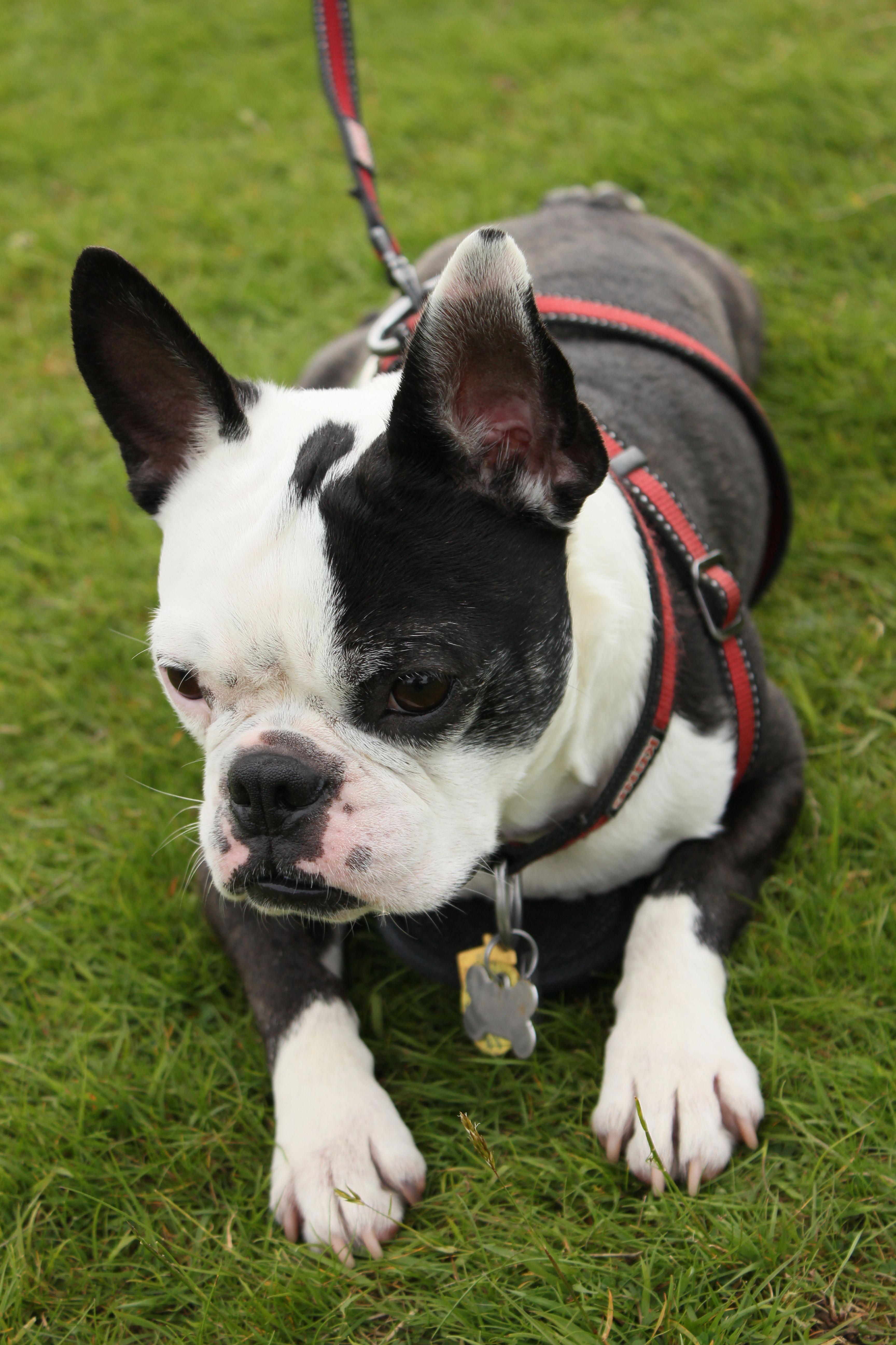 Bruno Frenchton French Bulldog And Boston Terrier Mix On Pawshake Germanshepherdpuppies German Shepherd Puppies Dog Control Dogs