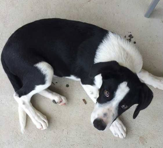 I Need A New Home Beautiful Male Short Haired Border Collie For
