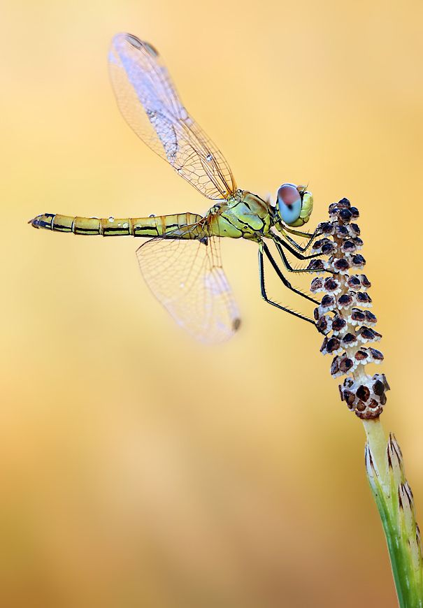 love this photo by Ondrej Pakan because it shows the way the wings of a dragonfly move separately... cool!