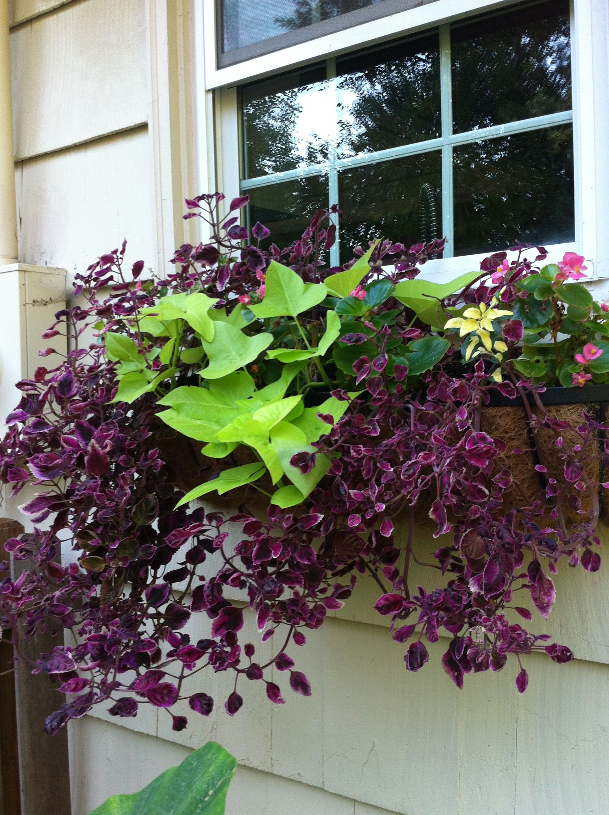 sweet potato vine and trailing coleus garden inspiration on sweet dreams for your home plants decoration precautions and options id=78389