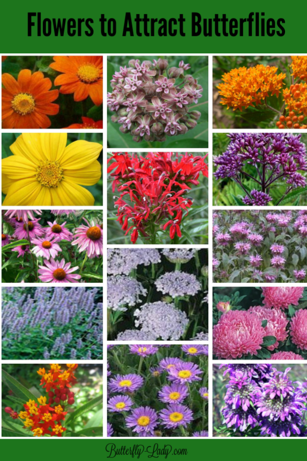 Butterfly Lady Now Offers Seeds For Your Butterfly Garden Including Native Mil Flowers That Attract Butterflies Butterfly Garden Plants Butterfly Garden Design